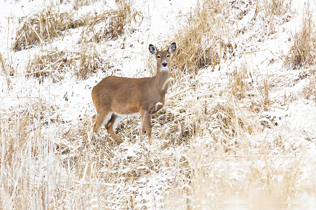 Winter White Tail