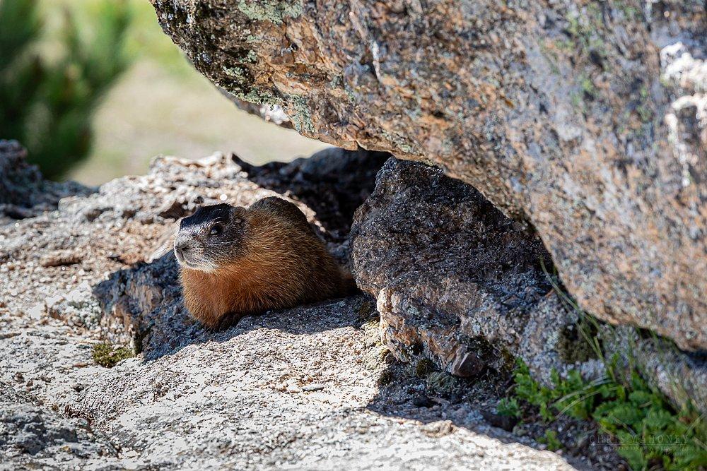 Marmot on Rocks